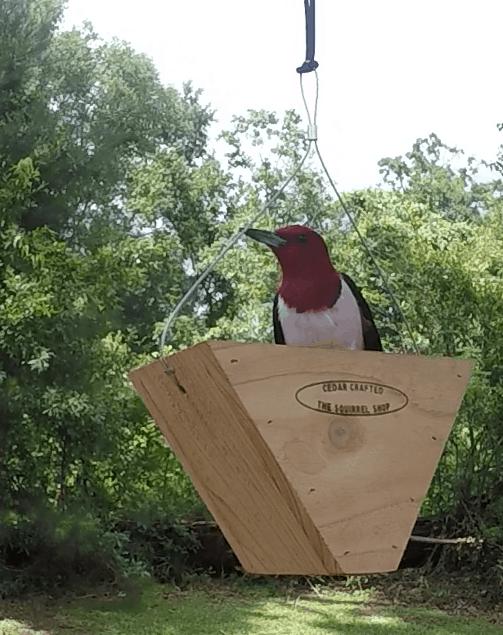 Wasteful Redhead Woodpecker