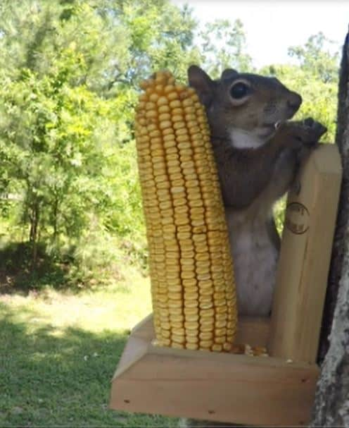 Female Squirrel With Feeder
