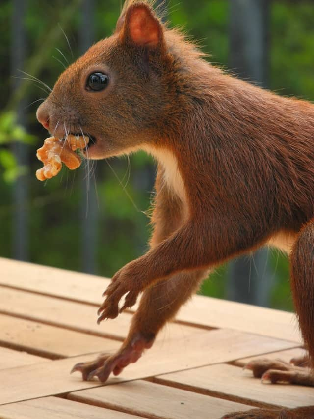 Are Squirrels Vegetarians