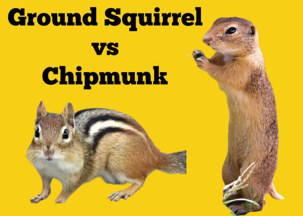 Ground Squirrel vs Chipmunk
