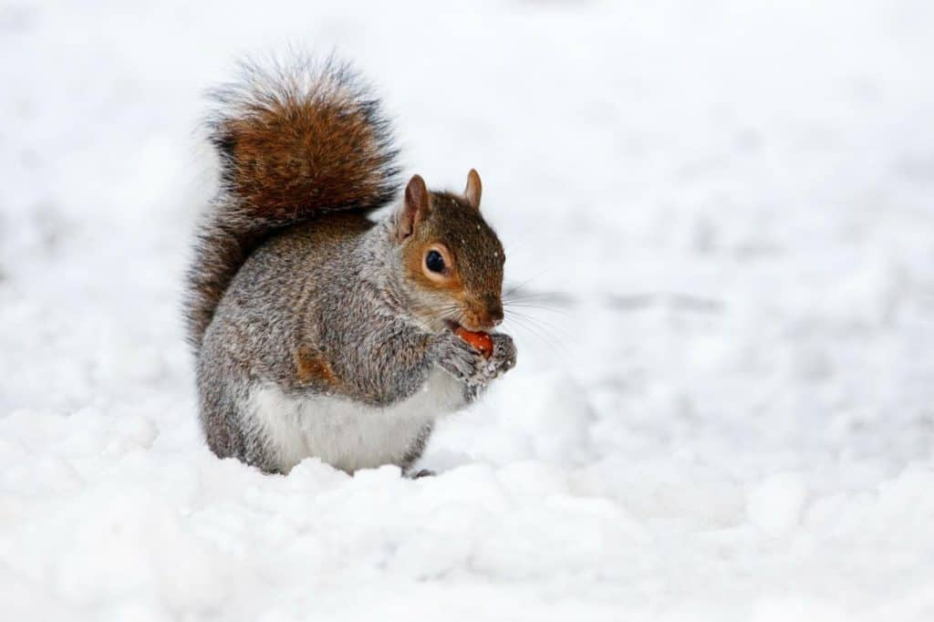 Squirrel in Cold Weather