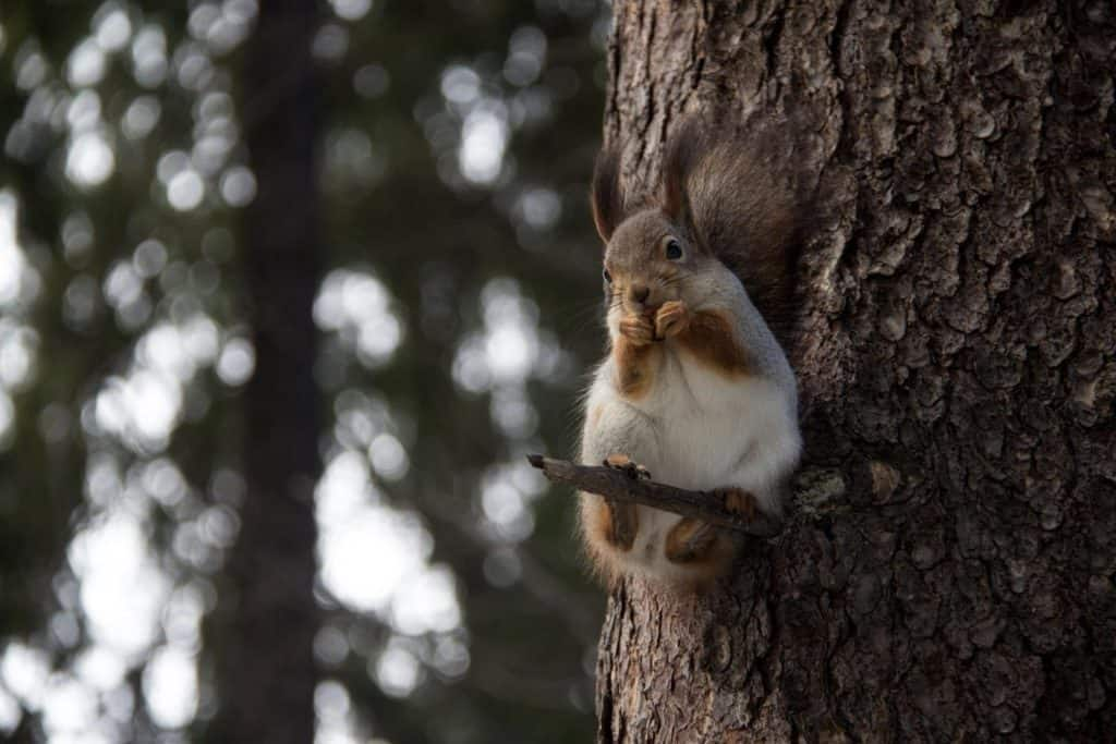 what eat squirrels