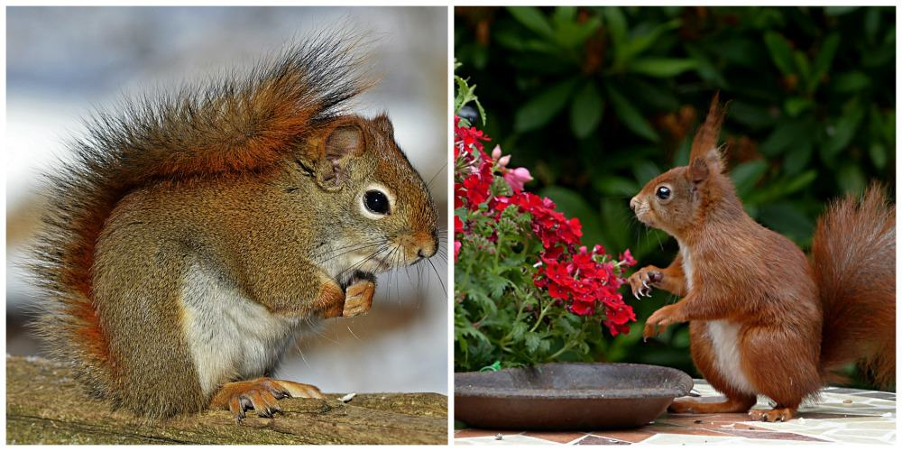 American vs Eurasian Red Squirrel