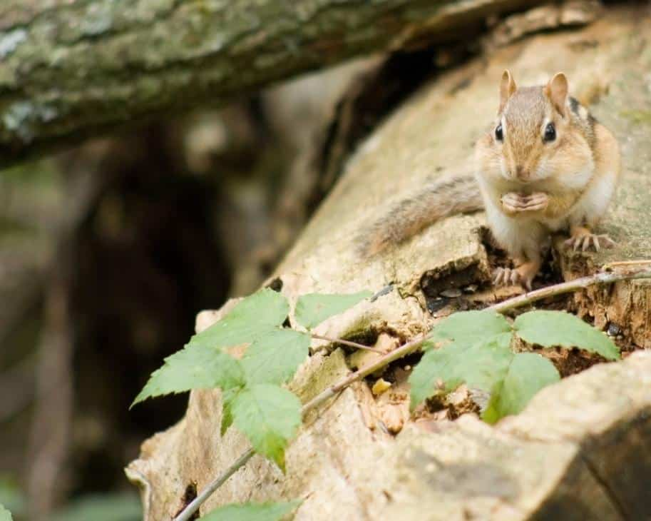 Chipmunk for Winter
