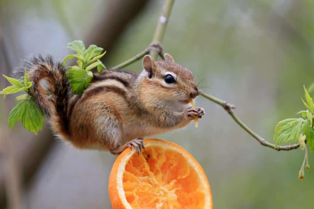 Do Chipmunks Carry Rabies