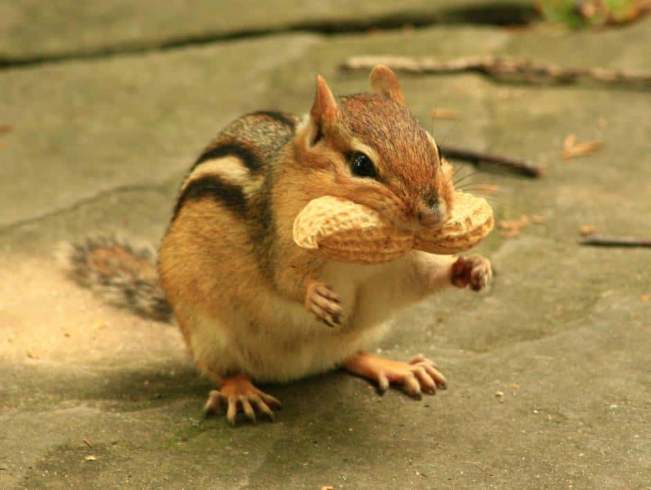 How Long Do Chipmunks Live