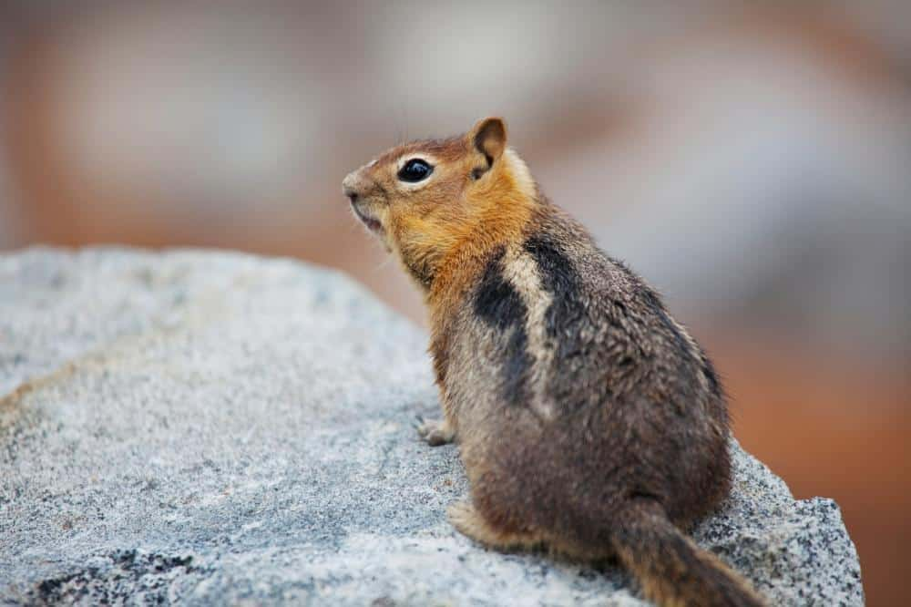 When Do Chipmunks Have Babies
