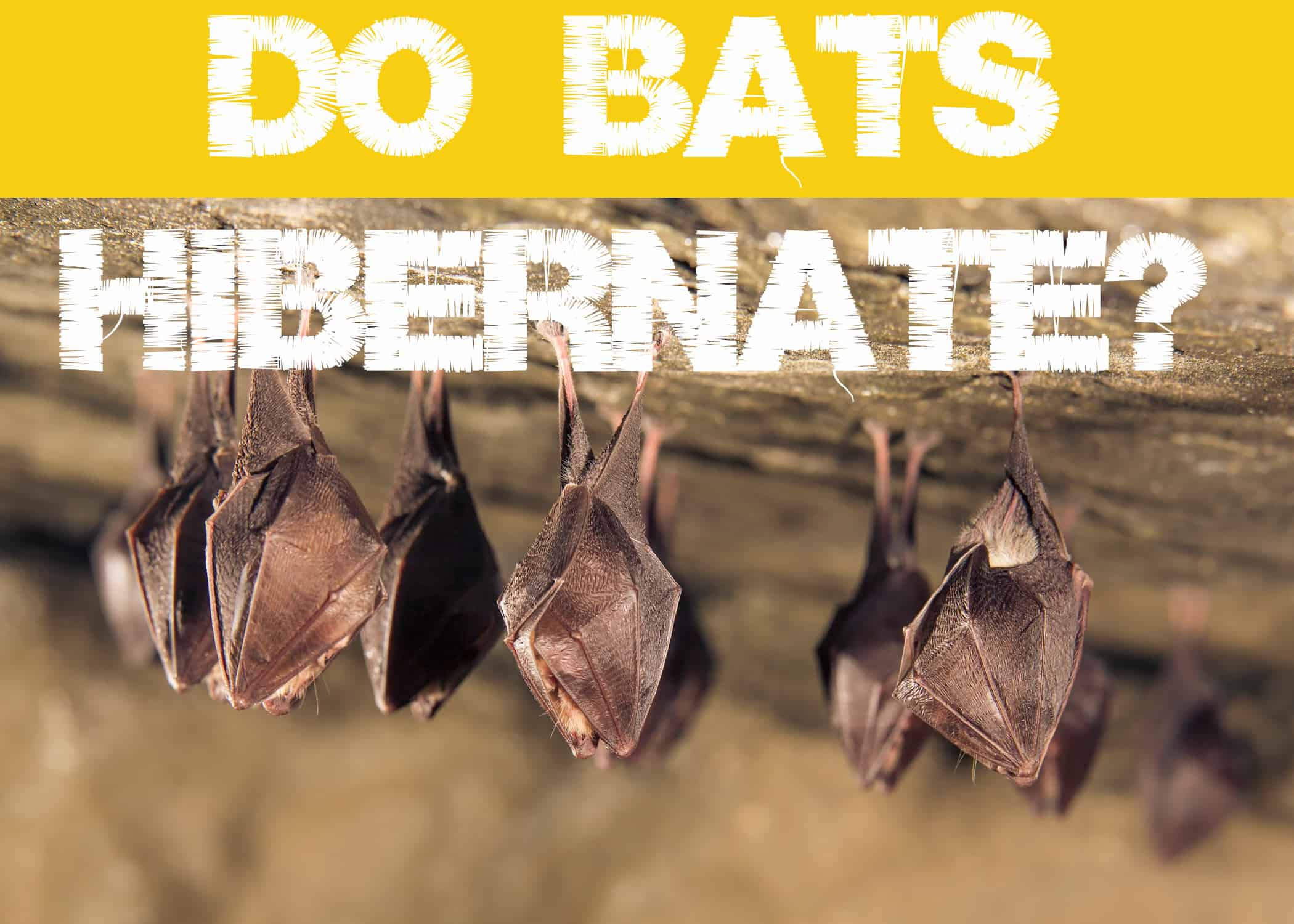 Do Bats Hibernate