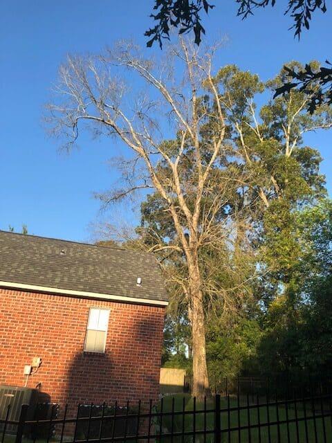 Dead Oak Tree In Yard