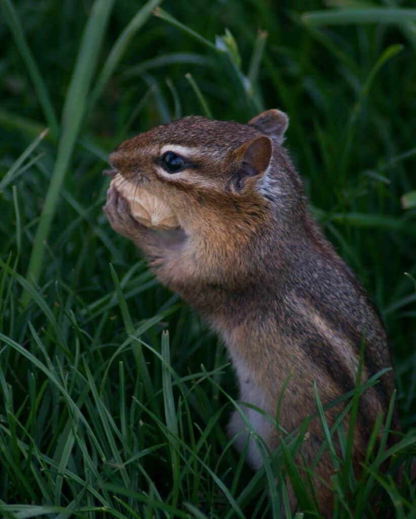 Do Chipmunks Bury Nuts