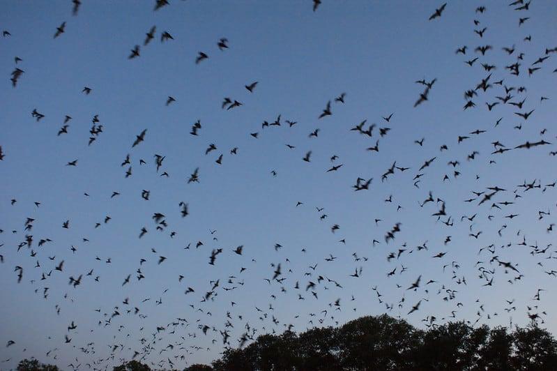 Feasting Bats