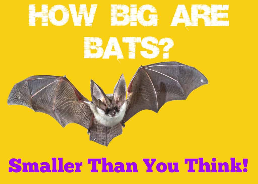 How Big Are Bats