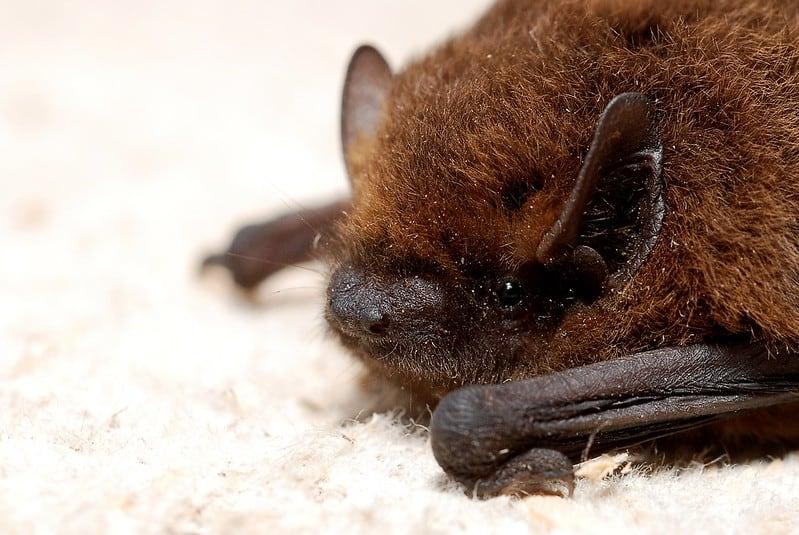 Resting Bat