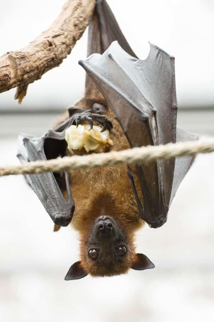 Bat Eating a Piece of Fruit