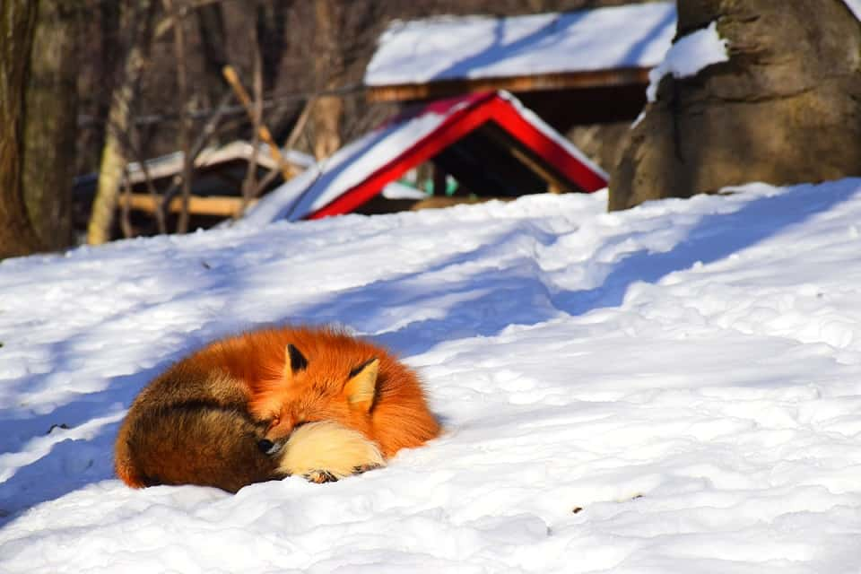 Red Fox Sleeping in Winter Snow