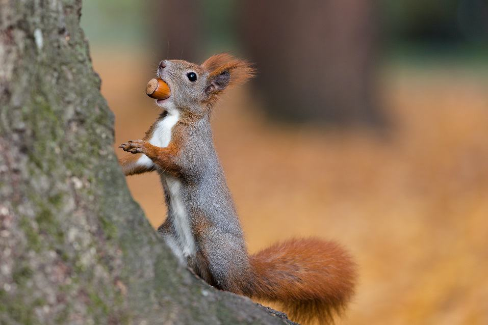 Squirrel Carrying a Nut to Eat Later