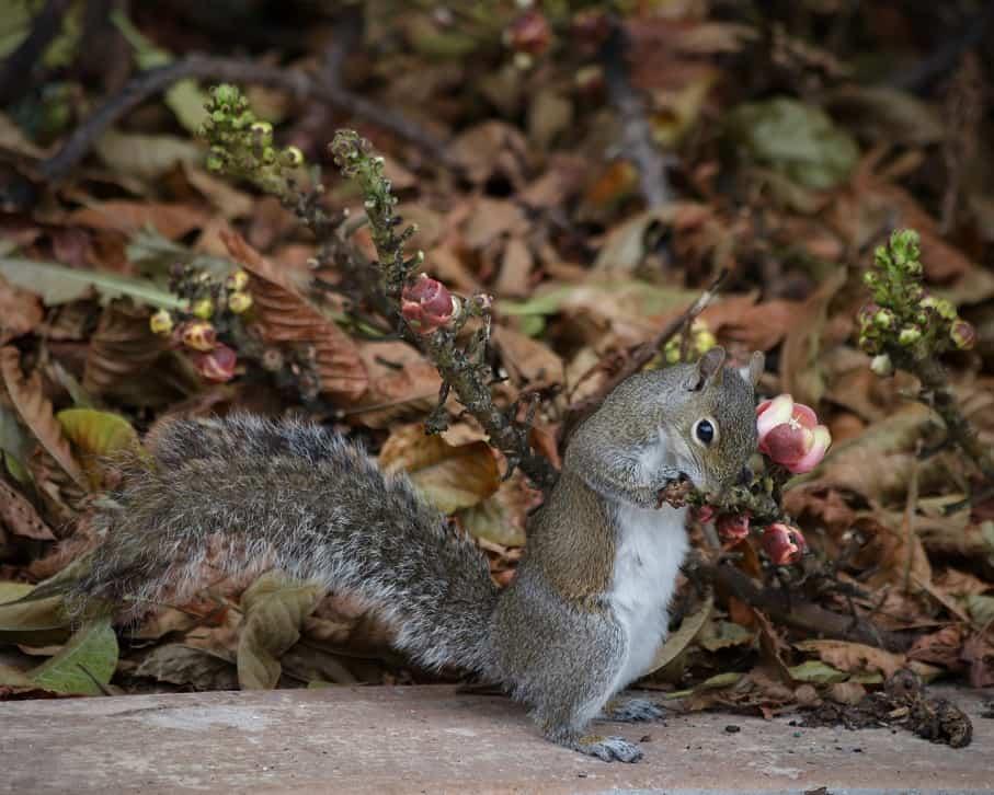 Squirrel Eating Flower Buds